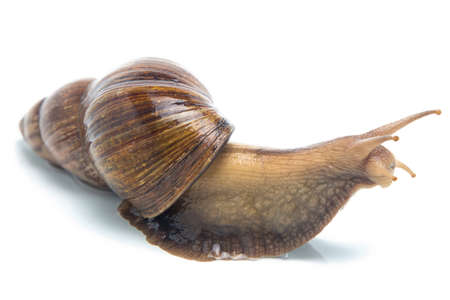 big slick: Isolated image of big snail on white background Stock Photo