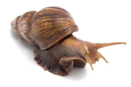 big slick: Image of big snail on white background