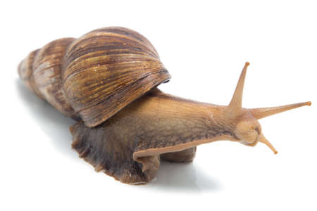 Isolated photo of Achatina on white background Stock Photo