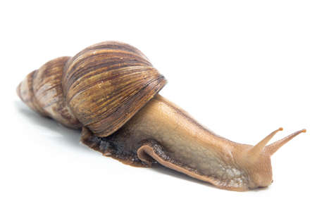 Photo of crawling snail on white background