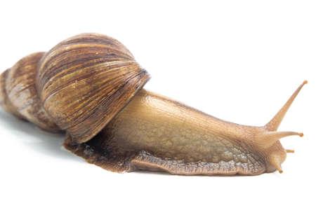big slick: Image of crawling snail on white background