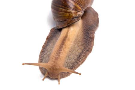 big slick: Photo of big snail on top - white background