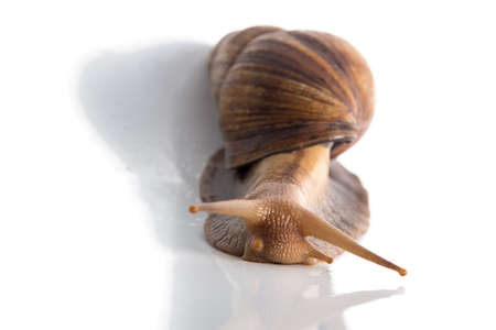 big slick: Image of Achatina with shadow on white background