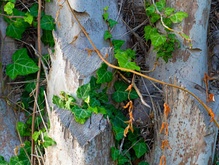 loach: Green ivy on the stone wall, in the summer