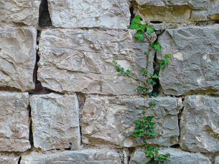 loach: Texture of brick wall with big green plant. Photo of texture.