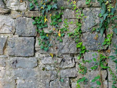 loach: Texture of ruined brick wall with plants. Photo of texture.