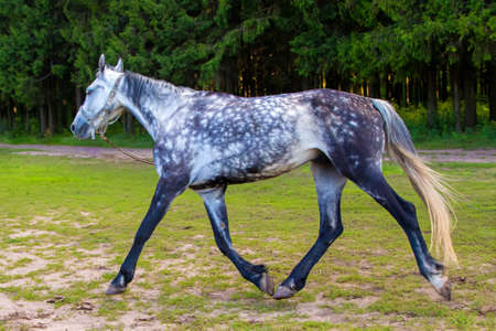 steed: Spotted grey horse running with lead. Photo of horses in nature.