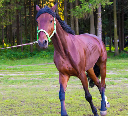 light brown horse: Light Brown horse running. Photo of horses in nature. Stock Photo
