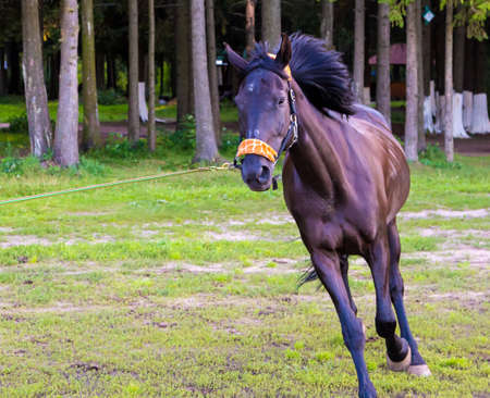 steed: Dark brown horse running near trees. Photo of horses in nature. Stock Photo