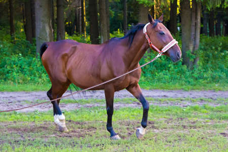 trot: Brown stallion horse running near forest with lead. Photo of horses in nature.