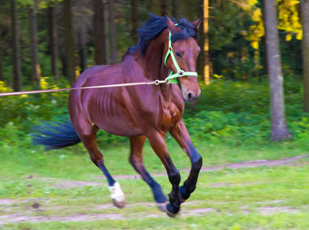 light brown horse: Light brown horse running with lead. Photo of horses in nature.