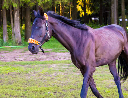 trot: Dark brown horse running close up. Photo of horses in nature. Stock Photo
