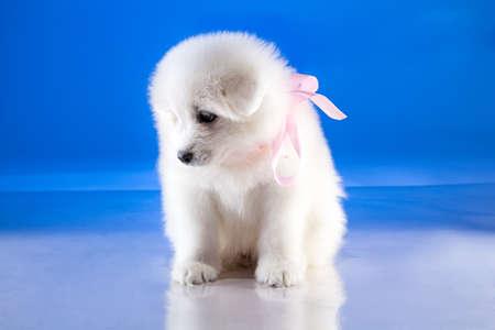 whelp: Fluffy puppy of Samoyedskaja dog on blue background Stock Photo