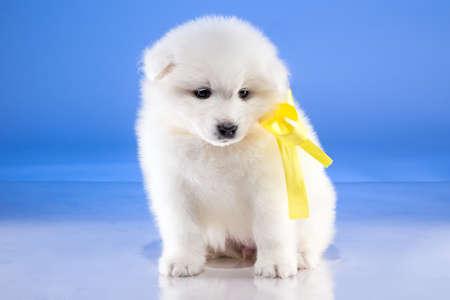 whelp: Furry puppy of Samoyedskaja dog on blue background