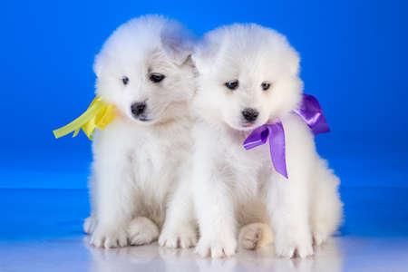 whelp: Little furry puppies of Samoyedskaja dog on blue background