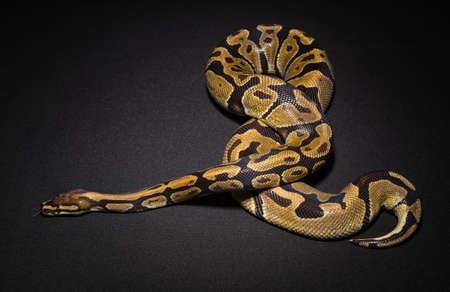 Image of brown royal python