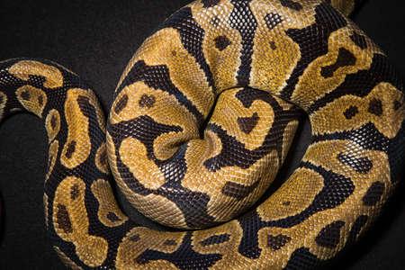 Photo of royal pythons skin