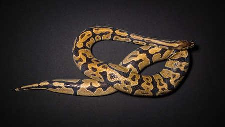 Photo of ball pythons noose