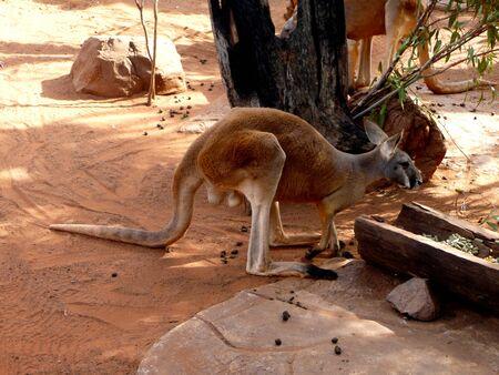 skippy: kangaroo in Australia