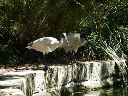botanic: Birds at Sydney Botanic Garden