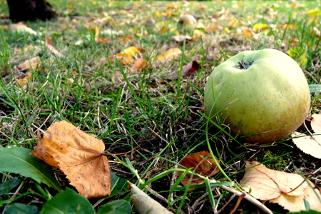 picking mature apples in fall