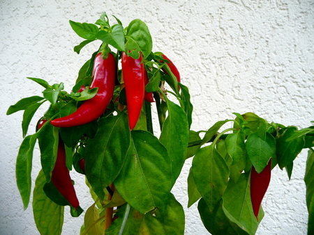 red peppers: Growing red peppers