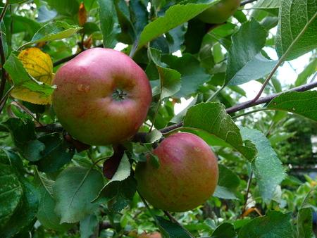 ripening apples on the tree Standard-Bild