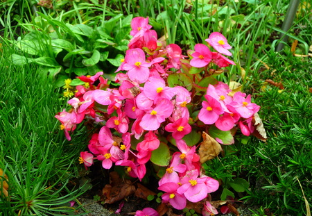 pink blooming flower Standard-Bild