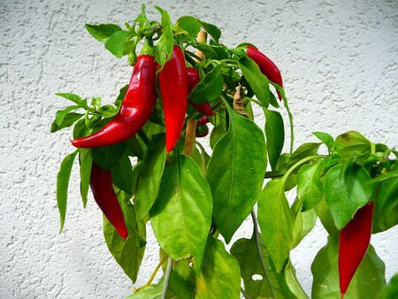 Growing red peppers