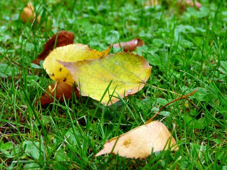yellow and brown leaves in the grass in autumn Standard-Bild
