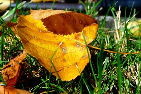 yellow brown leaf in the grass in autumn