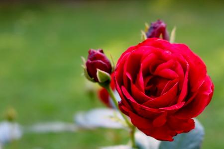 red rose flowering