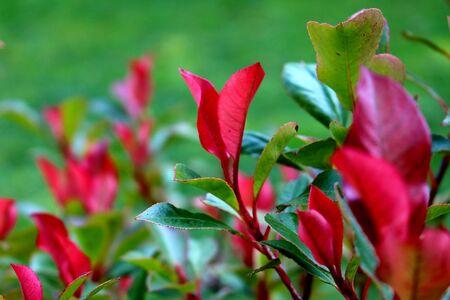 red leaves in fall Standard-Bild