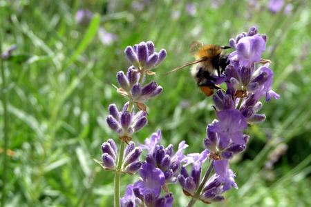 bee on lavender Standard-Bild