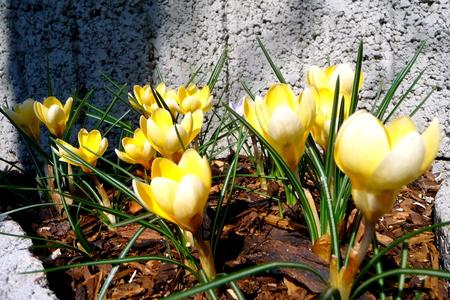 yellow crocus blossom