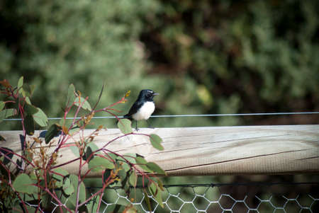 willy: willy wagtail on a fence post Stock Photo