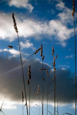 blue sky background behind grasses