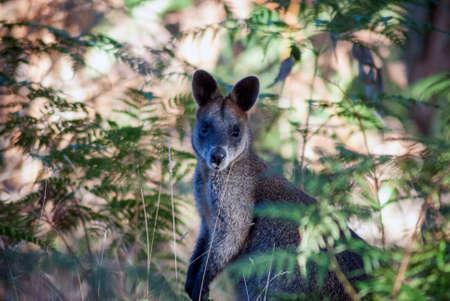 wallaby: Australian Wallaby in the bush