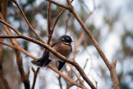 fantail: An Australian Grey Fantail bird in a tree