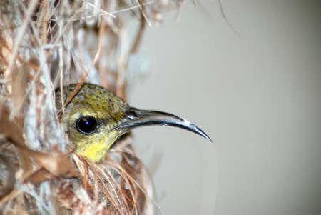 sunbird: olive backed sunbird in nest