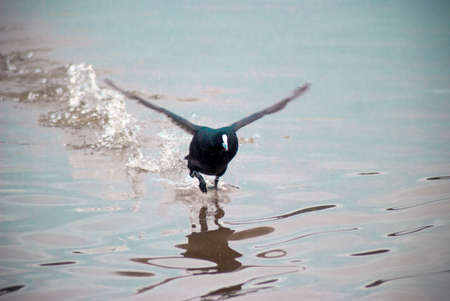 water wings: coot bird landing on water on a lake with its wings out Stock Photo