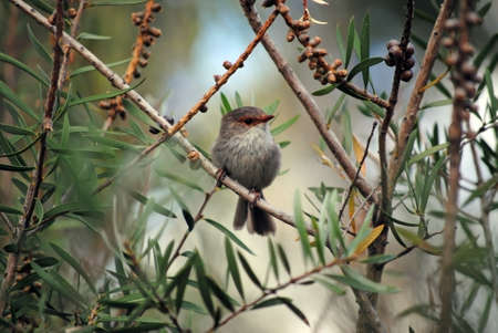 superb: a young superb fairy wren perched in a tree early in the morning