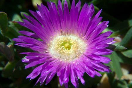 ice plant: Close up of a pink ice plant, carpobrotus edulis Stock Photo