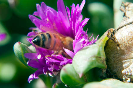 pollinators: a bee inside a pink flower gathering nectar