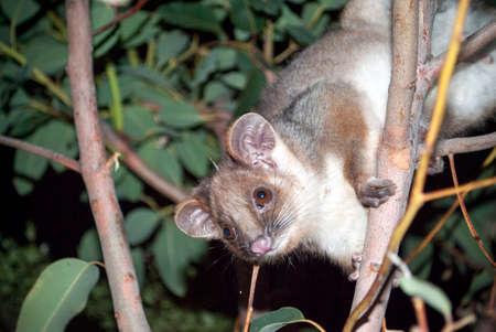 possum: australian ringtail possum Stock Photo