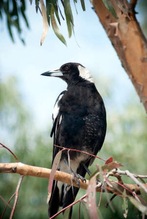 magpie: Australian magpie perched on a branch in a gum tree
