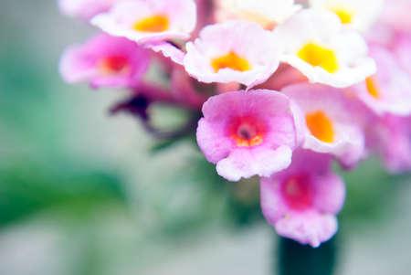 lantana: pink lantana flowers