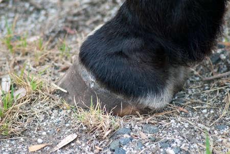 hoof: close up of a horses hoof
