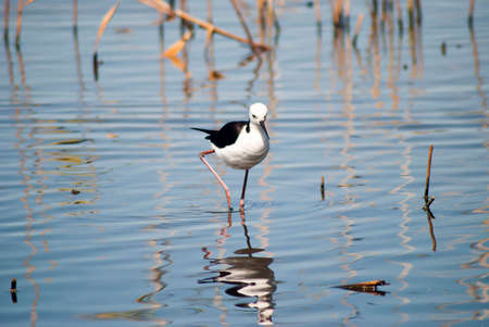 black winged stilt in shallow water with its reflection in a wetland area of australia