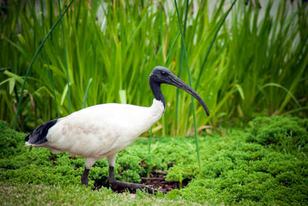 Side on profile of an Australian black-headed ibis, also known as a bin chicken